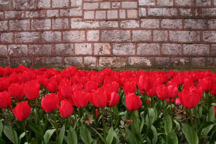 Tulips border an ancient wall. Huge swaths of tulips are displayed throughout Istanbul.